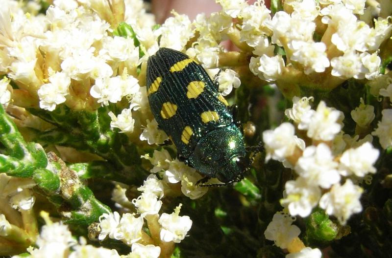 Miena jewel beetle